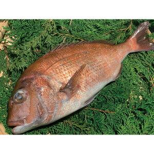 刺身用 養殖 真鯛 (皮付) 片身 (魚体1kgサイズ) 20870(三重 尾鷲 処理済 さしみ 2021年新商品 魚介類)