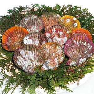 ヒオウギ貝 約80〜100g×10枚入 23053 販売期間4月末〜8月(貝柱 うま味 色鮮やか 貝殻)