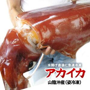 【姿冷凍】送料無料アカイカ(ソデイカ)山陰産[冷凍] 1杯(6kg前後)【お刺身・イカ天に♪】