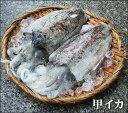 【スピード出荷】鳥取県産 甲イカ[生] 1杯(300g程度)【お刺身♪焼き物♪】