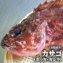 【スピード出荷】カサゴ(ボッカ)[生] 1匹(200-300g程度)鳥取県産【お刺身・唐揚げ・煮つけ♪】