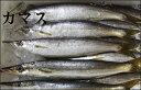 【持ち越し品】【スピード出荷】日本海産 カマス[生] 1匹(200g程度)【塩焼きに♪】