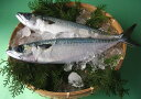 【スピード出荷】鳥取県産 マサバ(真鯖)[生]大 1匹(500g程度)【焼き物・味噌煮♪】