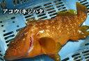 【スピード出荷】アコウ(キジハタ)[生] 1匹(490g前後)鳥取県産【お刺身・煮つけ♪】