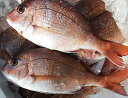 【スピード出荷】【日本海産】天然真鯛[生] 1匹(500-600g程度)【お刺身・塩焼きに♪】
