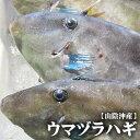 【持ち越し品】【スピード出荷】鳥取県産ウマヅラハギ[生]大 1匹(400g前後)【塩焼き・煮つけ♪】