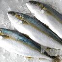 【スピード出荷】天然ヒラマサ[生] 1匹(1kg前後)日本海産【お刺身用】