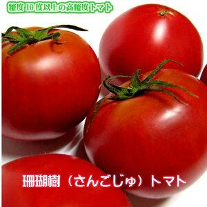 送料無料 珊瑚樹トマト 糖度10度以上のフルーツトマト!誰が食べても旨いと驚く高糖度 トマト 甘いトマト 国産 野菜 産地直送 産直 お取り寄せグルメ ご当地グルメ 徳島県産 プレゼント