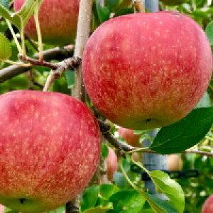 りんご 青森 林檎 青森の葉とらずリンゴ サンふじ5kg 甘くてジューシー果汁たっぷり 青森県特別栽培認定 産地直送 減農薬栽培 健康 りんご ポリフェノール食物繊維ダイエット 生食 加熱調理