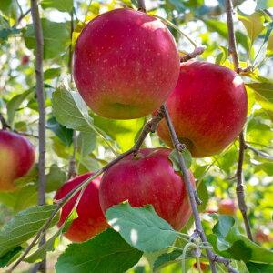 甘くて旨い 青森 葉とらずリンゴ ジョナゴールド 10kg もりやま園 甘くてサクサクの食感 青森県特別栽培認定 産地直送 減農薬栽培