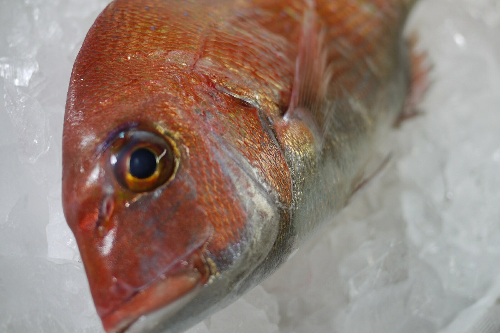 【送料無料】豊浜漁港直送 天然 活〆 真鯛(マダイ) 3kg以上