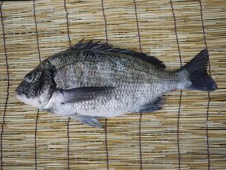 丰浜渔港直接运送天然黑鲷(黑鲷)大约2kg