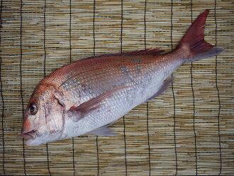 爱知县,新鲜完成天然海鲷超过 4 公斤
