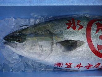Yellowtail of Himi, Toyama Bay natural 11 kg-12 kg