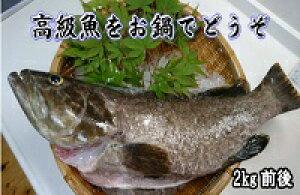 長崎県対馬産「幻の魚クエ」一本売り 2kg前後