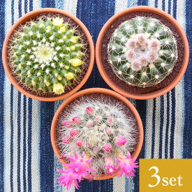 サボテン 3.5号鉢 アソート 3個セット 鉢植え インテリア 観葉植物 さぼてん 引越し祝い プレゼント 父の日 母の日ギフト