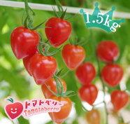 【送料無料】完熟トマトベリー*A品入りの無選別(1.5kg)プレミアムミニトマトバラ売り1.5kg