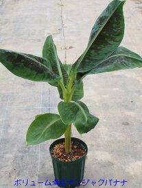 大好評!!お家でバナナを育てよう!サンジャクバナナ 5号スリット鉢 充実株オリジナル用土に植えてあり充実した株です!【コンパクトバナナ】【バナナ苗】