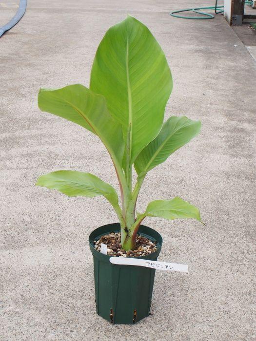 中耐寒性バナナ苗 アビジニアンバナナ(エンセテ) 5号株【発送時期が同じ熱帯植物との同梱可能】