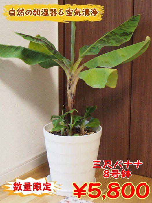 室内で自然の加湿器!!サンジャクバナナ 8号大株オリジナル用土植え込み【コンパクトバナナ】【植え替え不要】