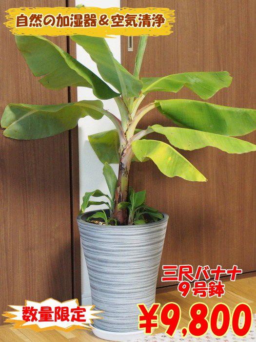 室内で自然の加湿器!!サンジャクバナナ グレー樹脂鉢ロング 9号株オリジナル用土植え込み【コンパクトバナナ】