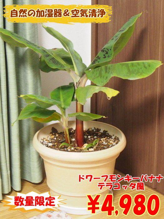 室内で自然の加湿器!!ドワーフモンキーバナナ テラコッタ風樹脂鉢 10号株オリジナル用土植え込み【コンパクトバナナ】