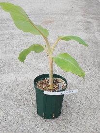 中耐寒性バナナ苗 ニューバルビシアーナバナナ 5号株【発送時期が同じ熱帯植物との同梱可能】