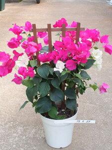 ブーゲンビリアフェンス仕立て パープルレッド&ブライダルピンク 5号鉢【熱帯の花の代表】【ブーゲンビレア】【ギフト不可】