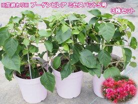 ブーゲンビリア ミセスバット 5号鉢 3鉢セット【【ブーゲンビレア】【庭植えに向く品種】【ギフト用不可商品】