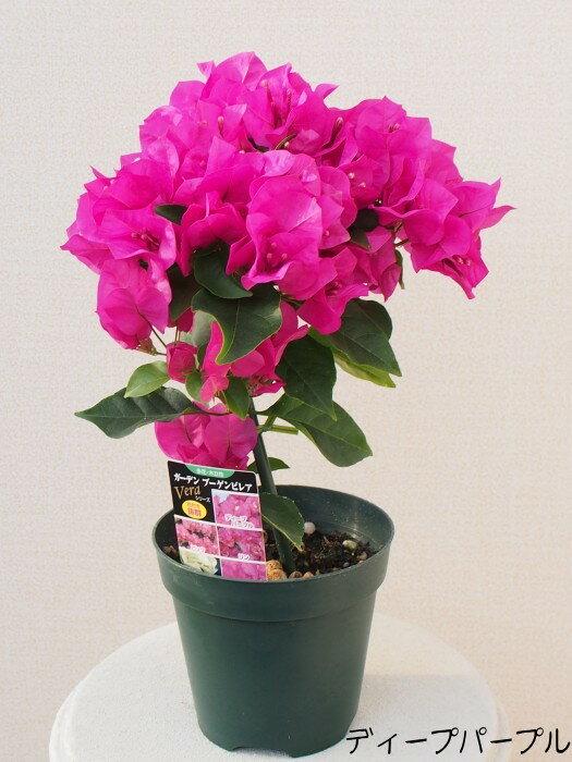 南国の花の代名詞ガーデンブーゲンビリア 4号鉢【多花・木立性】【熱帯の花の代表】【ブーゲンビレア】