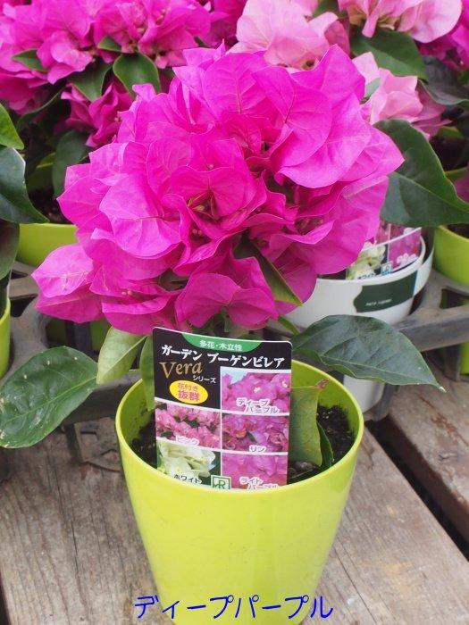 ※一番花終わりの為値下げしました!!南国の花の代名詞ガーデンブーゲンビリア 3.5号鉢【多花・木立性】【熱帯の花の代表】【ブーゲンビレア】