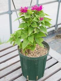 【流通量が少ない希少品種】 木立性トゲなしミニブーゲンビリア 4号スリット鉢【植え替え不要】