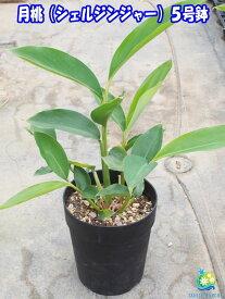 ミラクルハーブ シェルジンジャー(月桃・ゲットウ)5号大苗【発送時期が同じ熱帯植物との同梱可能】
