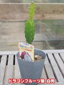 【夏物一掃セール!!】白実ドラゴンフルーツ 4号ポット苗【ピタヤ】【発送時期が同じ熱帯植物との同梱可能】