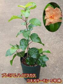 ハイビスカス 原種 コキオ サーモン5号鉢 大苗 オリジナル用土にて植え替え済み【ハワイの原種】【希少熱帯植物】【発送時期が同じ熱帯植物との同梱可能】