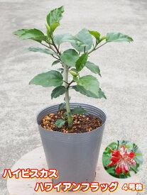 プレミアムハイビスカス ハワイアンフラッグ4号充実苗 【希少熱帯植物】【発送時期が同じ熱帯植物との同梱可能】