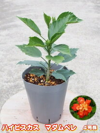 プレミアムハイビスカス マダムペレ4号充実苗 【希少熱帯植物】【発送時期が同じ熱帯植物との同梱可能】