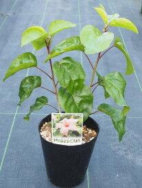 ハイビスカス 原種 コキオ サーモン4号 充実苗【ハワイの原種】【希少熱帯植物】【発送時期が同じ熱帯植物との同梱可能】