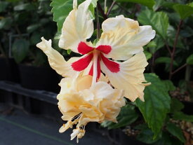 暑さに強いコーラル系品種!!ハイビスカス レモンフラミンゴ 4号充実苗【発送時期が同じ熱帯植物との同梱可能】