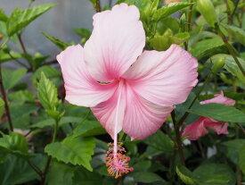 暑さに強いコーラル系品種!!ハイビスカス ピンクバタフライ 4号充実苗【発送時期が同じ熱帯植物との同梱可能】