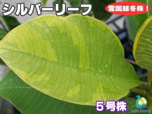 ☆タイ直輸入の接木苗☆珍しい斑入り葉のプルメリア シルバーリーフ 5号鉢 越冬株