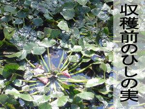 旬珍味オニビシ大びし菱実トウビシひしヒシ菱ひしの実ヒシの実菱の実大木町安心安全産地直送販売通販