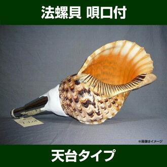 腾达新型的海螺壳,与喉舌大小 32-34 厘米