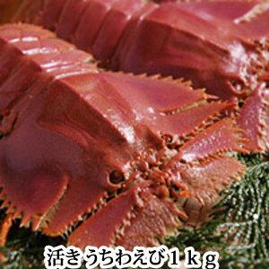 うちわえび 活き 1kg (ウチワエビ)長崎産もしくは島根、山口