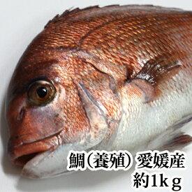 鯛 ( 養殖 )1kg 瀬戸内海 愛媛県産 活き締め ( お食い初め 刺身 )