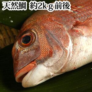 鯛 ( 天然 ) 瀬戸内海産 2kg( タイ たい 刺身 お正月 祝い 結納 )