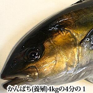 鹿児島県産 かんぱち ( 養殖 )4kgの4分の1 カンパチ 間八 刺身