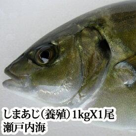 しまあじ ( 養殖 瀬戸内海産)1kg( シマアジ 沖アジ 島鯵 活き締め 刺身 )
