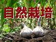 【青森県産】谷地村さんの自然栽培にんにくM玉約500g(10〜12個前後)※無農薬・無施肥※常温配送