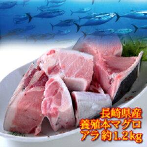 長崎県産 養殖 本マグロ アラ 約1.2k お刺身に取れる! 大変お得な部位です。本マグロの頭、カマ部分を使用。まぐろ 父の日 お中元 ギフト 贈り物 ゴルフコンペ商品 還暦祝い 景品 内祝い